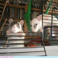 Cutie rats