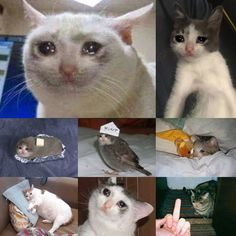 Do you guys have anymore of this sad cat meme? cat crying, cats that Sad Cat Meme, Funny Cat Memes, Funny Cats, Animals And Pets, Funny Animals, Cute Animals, Golden Doodle, Memes Arte, Cat Crying