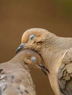 Some breed of pigeon. Pretty Birds, Beautiful Birds, Animals Beautiful, Cute Animals, Funny Animals, All Birds, Love Birds, Funny Bird, Mourning Dove