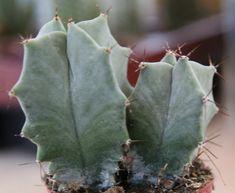 Stenocereus pruinosus Air Plants, Garden Plants, Indoor Plants, Cactus Planta, Cactus Y Suculentas, Cacti And Succulents, Planting Succulents, Cactus Identification, Mini Plantas