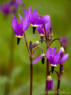 Shooting Stars ... Alpine Wildflower...have always love these. They're out right now where I live.