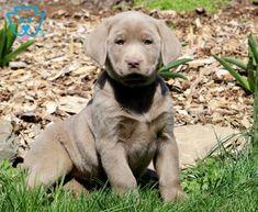 Lexi   Labrador Retriever - Silver Puppy For Sale   Keystone Puppies