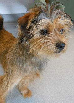Norfolk Terrier mix
