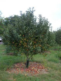 1000 Images About Apples I Am Growing On Pinterest