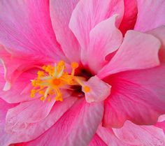 Double Hibiscus 2: A beautiful double hibiscus in close-up.