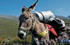 Why not do the Donkey Trail? From Calitzdorp to Gamkaskloof Valley to the iconic Die Hel and Swartberg Mountain Pass in Klein Karoo Mountain Pass, The Donkey, Trail, Hiking, Horses, Dogs, Animals, Walks, Animales