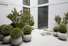 """Undulating Buxus, punctuated with Acer 'shishigashira' all planted in matching concrete spheres.""Considered Design Awards"