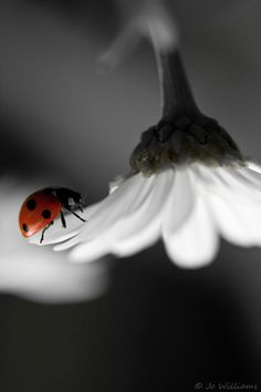 Lady Bug with Daisy Ladybug Art, Beautiful Bugs, All Gods Creatures, Fairy Land, Black And White Pictures, Macro Photography, Beautiful Creatures, San Antonio, Color Splash