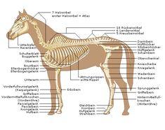 Pferde-Anatomie - Knochenbau deines Pferdes - Pferdeskelett