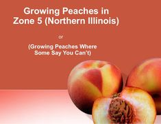 Growing Peaches in Northern Illinois is a power point presentation given at the Chicago Botanical Gardens in February of 2008 by Dennis Norton of Royal Oak Far…