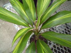 Party Planner (Cordyline fruticosa, or Ti plant, in kiwi Easy Plants To Grow, Growing Plants Indoors, Flowers For You, Types Of Flowers, Tropical Garden, Tropical Plants, Ti Plant, Chlorophytum, Crazy People