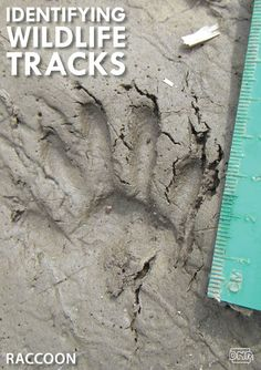 Learning how to identify common wildlife tracks, like these raccoon prints   Iowa DNR