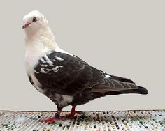 Timisoara Tumbler pigeon. This bird named for the ability to tumble or flip backward once or twice while in flight.