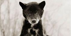'Azul', Kelpie Australiano, 19 años