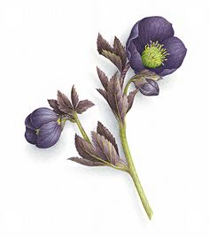 Hellébore noir (Black hellebore) I Vincent Jeannerot Watercolor Sketchbook, Watercolor Illustration, Botanical Flowers, Botanical Prints, Watercolor Flowers, Watercolor Paintings, Illustration Blume, Amazing Drawings, Botanical Drawings
