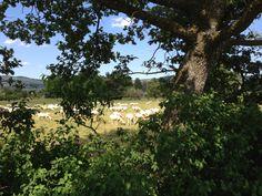 Giugno 2013. Non ho potuto avvicinarmi di più: le pecorelle sono animali timidi, ancor più quando, come ora, sono tutte nude!
