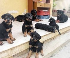 I got surprised when I saw that much rottweilers at my friend's shop backyard...  by rottweilerlover