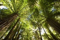 Colin Monteath - Tree Fern forest near Haast Pass, New Zealand - art prints and posters