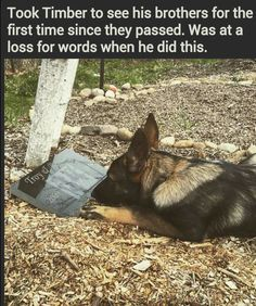The German Shepherd - they suffer loss and grieve just as humans do