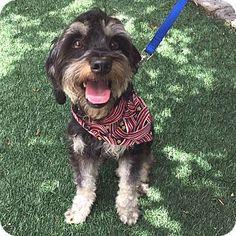 Redondo Beach, CA - Schnauzer (Miniature)/Lhasa Apso Mix. Meet Sylvester, a dog for adoption. http://www.adoptapet.com/pet/13321699-redondo-beach-california-schnauzer-miniature-mix