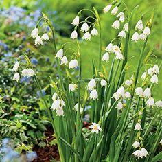 LEUCOJUM GRAVETYE GIANT - Garden Express