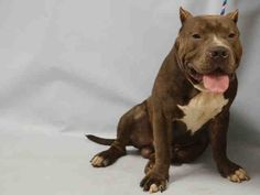 7/12/16 THIS POOR INNOCENT BABY IS STILL THERE! JUST 1 PHOTO! WHO NAMES THEIR BABY GHOST? LOOK AT THIS POOR FRIEND! PLEASE HELP HIM OUT OF THERE! Manhattan Center GHOST – A1080343 MALE, BLUE / WHITE, AMERICAN STAFF / STAFFORDSHIRE, 1 yr, 2 mos SEIZED – PRE RTO, HOLD FOR RTO Reason OWN ARREST Intake condition UNSPECIFIE Intake Date 07/07/2016, From NY 10468, DueOut Date 07/10/2016, I came in with Group/Litter #K16-064583.