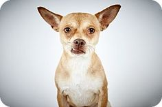 Papi by Richard Phibbs.  He is a Chihuahua up for adoption at the Humane Society of New York.