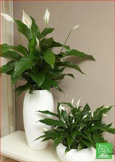 Best Indoor Plants, Outdoor Plants, Indoor Garden, Garden Pots, House Plants Decor, Plant Decor, Decoration Plante, Peace Lily, Deco Floral