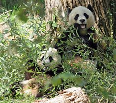 Back in 10/06     Pandas are rare and cherished in China.