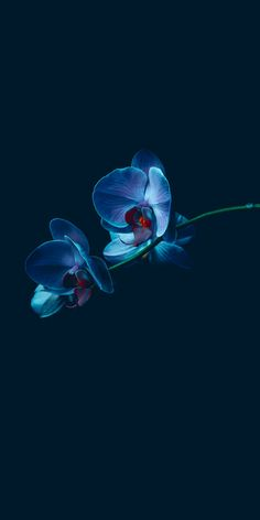 Newest Photographs blue Orchids Tips When you are new to everything about orchids , don't be frightened of them. Many orchids is often Orchid Wallpaper, Blue Flower Wallpaper, Trendy Wallpaper, Blue Wallpapers, Nature Wallpaper, Blue Orchids, Blue Flowers, Paper Flowers, Pink Roses
