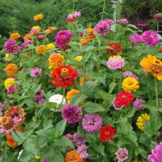 Zinnias | Great annual flower | Full Sun | Tall or short varieties | Deer Resistant | Photo by Paul2032