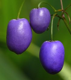 The mature fruit of Dianella caerulea, known as the Blue flax lily, or Paroo lily. A perennial herb found in Australia, its fruit and shiny black seeds are eaten raw Fruit And Veg, Fruits And Vegetables, Fresh Fruit, Weird Fruit, Strange Fruit, Unusual Plants, Exotic Plants, Fruit Trees, Trees To Plant