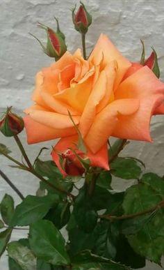 Beautiful Rose Flowers, Amazing Flowers, Beautiful Flowers, Orange Flowers, Red Roses, Roses Photography, Austin Rosen, Orange Rosen, Yellow Roses