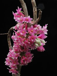 Dendrobium Unicum is a species of orchid, commonly known as the Unique Dendrobium native to Indochina. Description from pinterest.com. I searched for this on bing.com/images