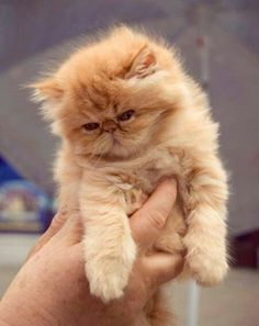 25 New Ideas For Cats And Kittens Breeds Exotic Shorthair Kitty Cute Cats And Kittens, Baby Cats, I Love Cats, Kittens Cutest, Baby Kitty, Pretty Cats, Beautiful Cats, Animals Beautiful, Beautiful Pictures