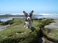 Woz up dog! That's my boy! Corgi!