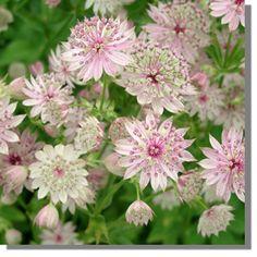 Hattie's Pincushion / Masterwort - Astrantia major 'Buckland'