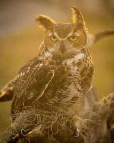 Photo by Bobbi Lane | X-T2 | XF50-140mmF2.8 R LM OIS WR | F2.8 | 1/1000sec | ISO400  @bobbilanephoto #fujifilm #xseries #XT2 #xphotographer #photography #animalphotography #nature #owl #goldenhour