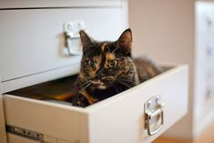 Adorable Tortie in a drawer
