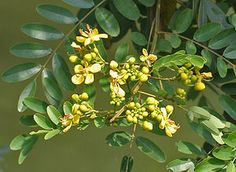 Siamese Cassia (senna siamea): Senna siamea (Thai: ขี้เหล็ก, khilek), also known as Siamese cassia, kassod tree, cassod tree and Cassia tree, is a legume in the subfamily Caesalpinioideae. It is native to South and Southeast Asia, although its exact origin is unknown.  It is a medium-size, evergreen tree growing up to 18 m with beautiful yellow flowers. It is often used as shade tree in cocoa, coffee and tea plantations. In Thailand it is the provincial tree of Chaiyaphum Province and some…