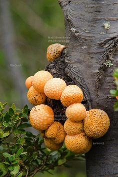 Darwin's Fungus or Indian Bread (Cyttaria darwinii) is an edible golf ball-like fungus that can be found on southern beech trees all over southern Patagonia like this one near the Serrano glacier in Chile