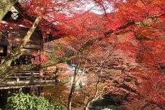 貴船神社紅葉 kyoto,japan