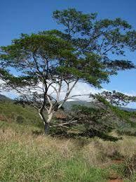 FALCATARIA MOLUCCANA. E' uno degli alberi a crescita più rapida del mondo, cresce fino a sette metri all'anno e può raggiungere i 30 metri.