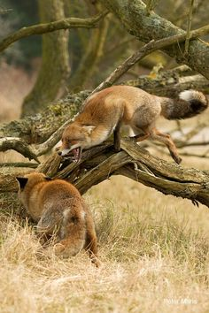 red foxes by Peter Maris