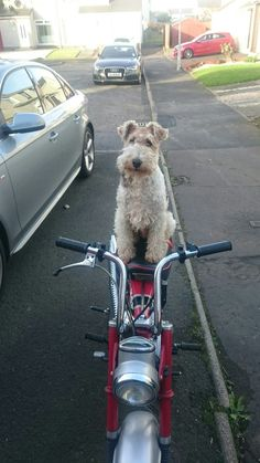 (◔◡◔) Wire hair fox terrier dave (?GPS...Guiding Pal Service :-D))