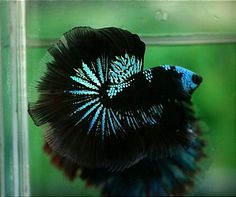 half Moon Betta fish...never heard of half-moon.....awesome and beautiful