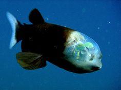 Transparent Headed Barreleye Fish
