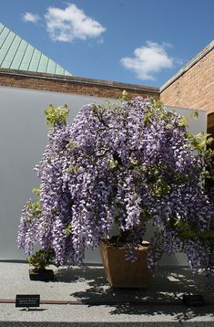Bonsai wisteria | Flickr - Photo Sharing!