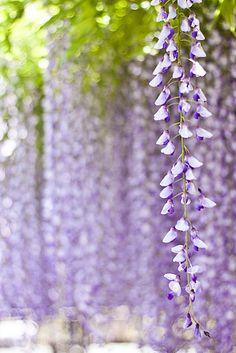 Fragrant wisteria favorite season of this year     photodiary @ yocca