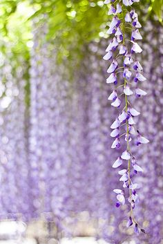 Fragrant wisteria favorite season of this year     photodiary @ yocca